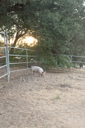 domestic: Single young pink domestic cute pig alone with sun setting through oak trees, entire pet pig is visible, vertical format