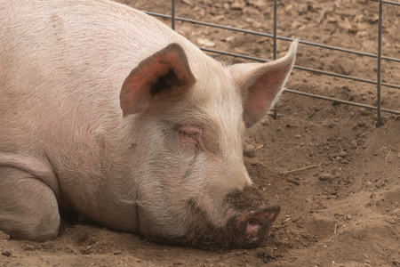 Head shot shot of spotted lazy, sleepy, good natured single dirty young domestic pink laying down in his pen pig, with big ears, well cared for and healthy