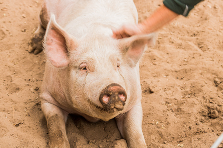 Close up head shot of gentle sweet smiling single dirty young domestic pink happy pig, with muddy face, big ears, well cared for and healthy Standard-Bild - 107163622
