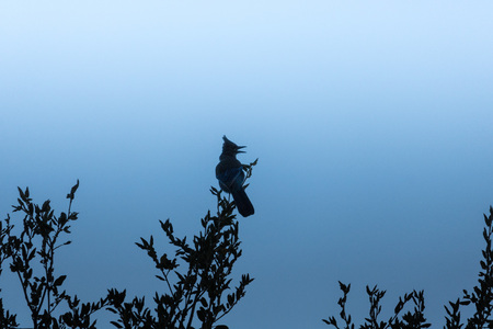 Loud, raucous stellar blue jay perched on oak branches silhouetted in evening twilight