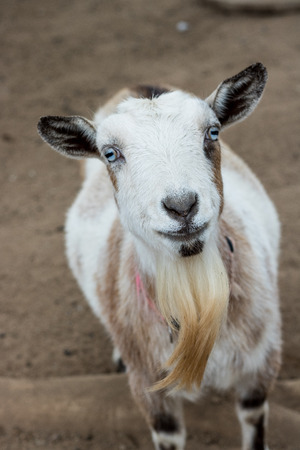 Single black, white and tan, bearded, blue eyes Nigerian dwarf pet goat looking up at camera with gentle smile on face, vertical format Standard-Bild
