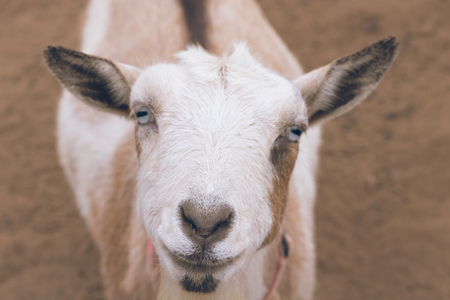 Single black, white and tan, bearded, blue eyes Nigerian dwarf pet goat looking up at camera with gentle smile on face