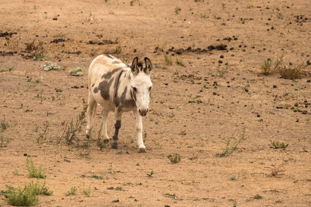 Full body shot of one standing small miniature donkey looking at the camera