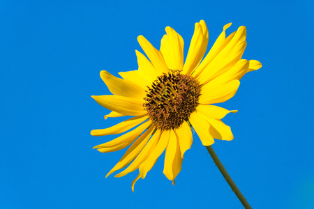 Single bright, vibrant yellow sunflower blossom set against blue sky