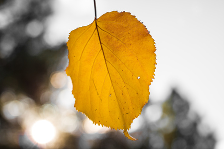 Single yellow orange autumn apricot leaf at an angle against bokeh blurred background, healthy organic food grown sustainable in family orchard, fall season Stock Photo
