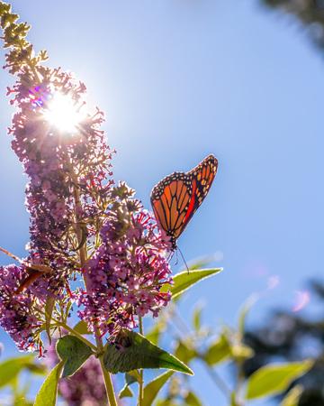 Monarch butterfly on purple butterfly-bush lit by bright summer sunshine, blue sky in background