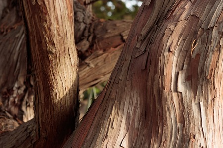 Close up of graceful, wavy, smooth and rough bark textures on sun lit tree trunks for background texture