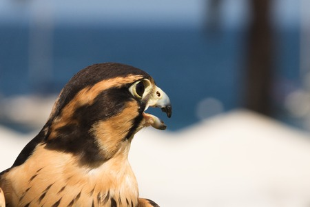 Peruvian falcon an aplomado, a closeup, head shot of a bird of prey, a raptor with brown and gold markings on feathers and dramatic black strips around eyes