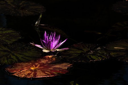 Lotus bloom floating in water, purple magenta blossom nested among lovely round lily pads calm serene background for meditation wellness harmony spirituality and health