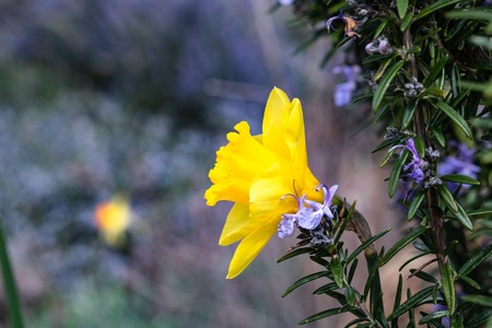 Single bright, happy, cheerful, yellow gold spring Easter daffodil bulb blooming in outside garden in springtime