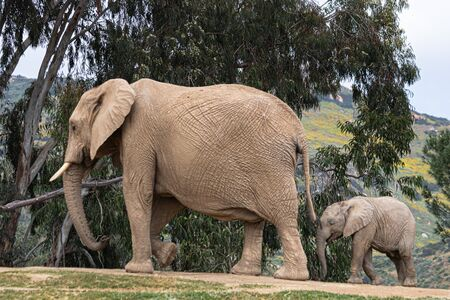 African elephants, kind loving tender relationship, mother and child