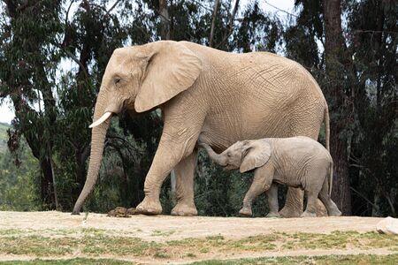 Elefantes africanos, tierna relación amorosa amable, madre e hijo