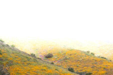 Bright orange vibrant vivid golden California poppies, seasonal spring native plants wildflowers in bloom, stunning hillside superbloom