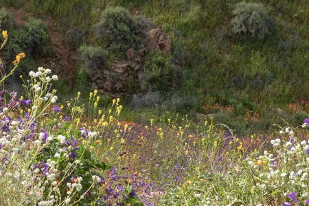 Orange yellow California poppies, seasonal spring native plant, white, purple and blue wildflowers in bloom against green hillside