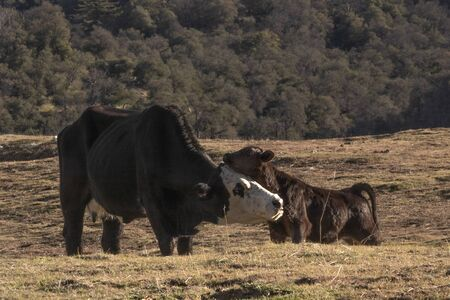 Mother and baby cow facing each other, healthy animals, happy calf, peaceful rural farm, livestock out to pasture Foto de archivo - 137893784