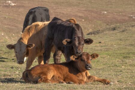 Three cute young baby cows, brown, black and beige calves relaxing in pasture looking at camera, one laying down two standing Foto de archivo - 137894090