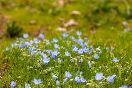 Blue wildflowers, early spring flowers, baby blue eyes, forest meadow flower, hope and peace, soft fragile romantic blooms