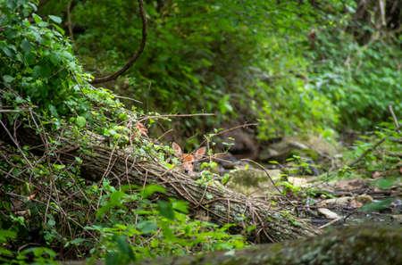 White-tailed deer fawn looks over fallen log at camera in idyllic woodland stream setting Standard-Bild