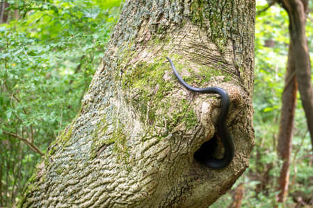 A Black Rat Snake slithers into a hollow tree in the woods.