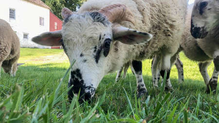 Close up of spotted sheep with pink horns grazing, looking at camera