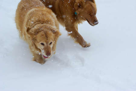 Pair of Golden Retrievers plays in the snow.
