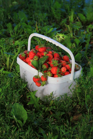 cottage garden: Ripe sweet strawberries in plastic basket on a green lawn. Outdoor. Stock Photo