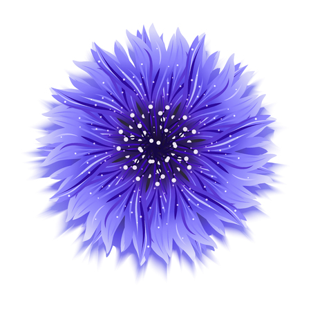 Blue cornflower on white. background Vector illustration. Çizim
