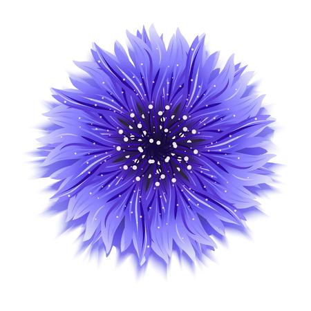 Blue cornflower on white. background Vector illustration. Illustration