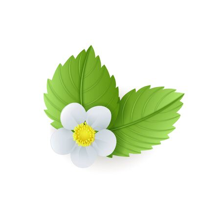 Strawberry plant green leaves and flower isolated on white background, medical herb, vector illustration