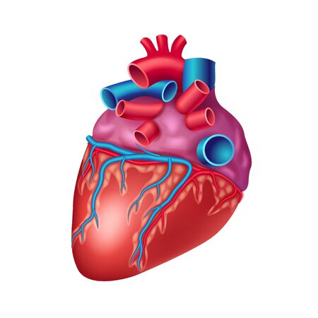 Anatomical heart icon with vessels, artery and aorta isolated on white background, human organ, vector illustration