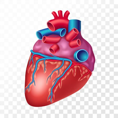 Realistic human heart isolated on transparent background. Internal organ of cardiovascular system realistic vector illustration