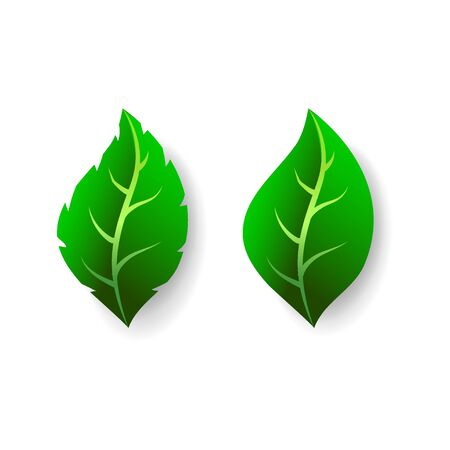 Two green leaves isolated on white background. Fresh summer foliage set, vector illustration in flat style