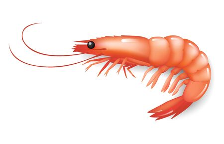 realistic Shrimp icon, fresh sea food. Isolated on white background. Vector illustration.
