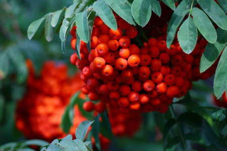 Branch with bright red rowanberries or ashberry on an ash tree with the background of green tree leaves in a wild forest
