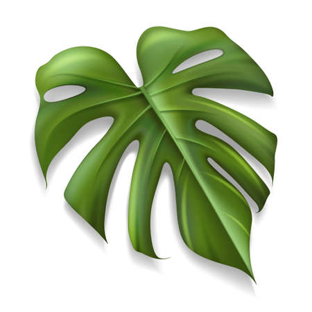 Single Tropical Leaf Monstera Plant isolated on white background, Vector illustration