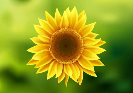 Realistic sunflower, beautiful bright yellow sunflower blossom on blurred green background, vector illustration