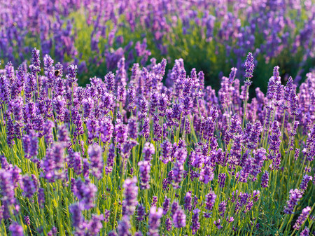 Lavender bushes closeup on sunset. Sunset gleam over purple flowers of lavender. Bushes on the center of the picture and sun on the left. Provence region of france.