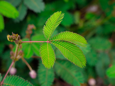 A sensitive compound leaf of Mimosa pudica - sensitive plant, shame plant