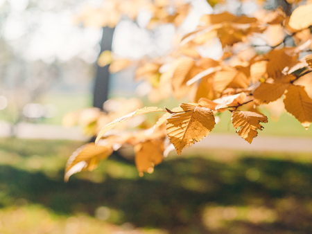 Colourful leaves in autumn season on the sun. Fall blurred background.