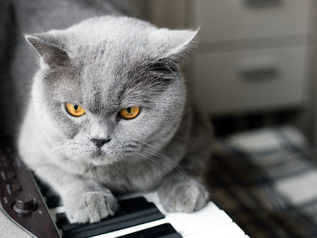 beautiful British gray cat sits on the keys of a piano, close-up portrait, large yellow eyes