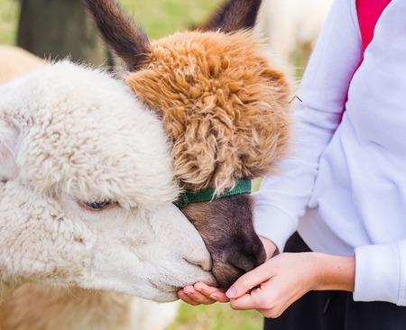 feeding white and brown alpaca in farm, animal on green field Stock Photo