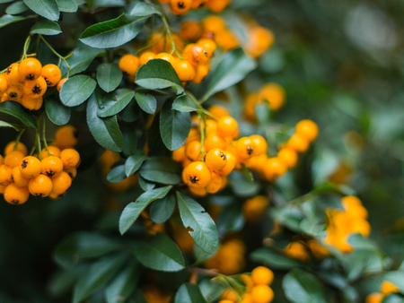 Pyracantha, yellow or orange berries and the background is blurred. Stock Photo