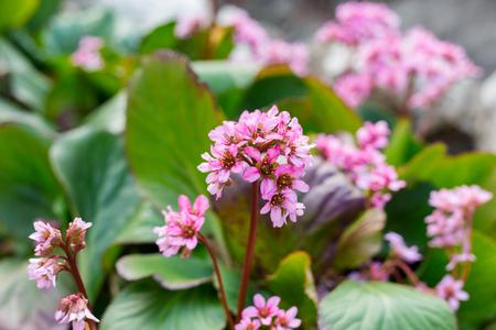 Bergenia rotblum flowers, Elephahants Ears. Wild medicinal plants