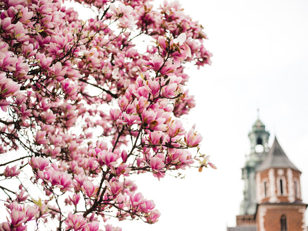 Beautiful purple magnolia flowers in the spring season in Poland. The Wawel Royal Castle. Historic city of Krakow in Poland. Stock Photo
