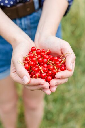 Hands holding fresh berries, Ripe red currant, juicy fruit