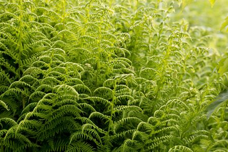 Beautiful background made with young green fern leaves. Perfect natural fern pattern.