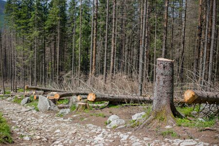 Deforested area in a forest with cutted trees in Tatras, Poland. Felling the trees