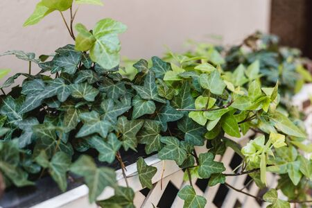 Garden concept of english ivy plant in pot on the balcony.