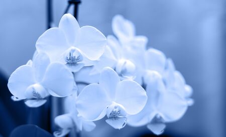 Orchid isolated on blurred background. Soft lovely flowers are seen in an artistic composition, Phalaenopsis flower, Image monochrome toned. Color of the year. Beautiful blue background for design. Фото со стока