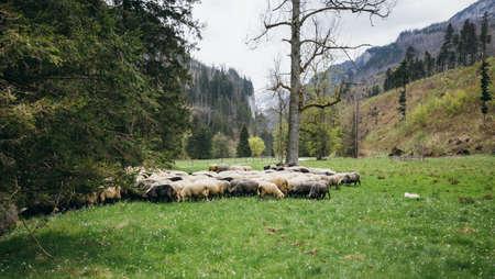 Flock of sheep on green grass Reklamní fotografie